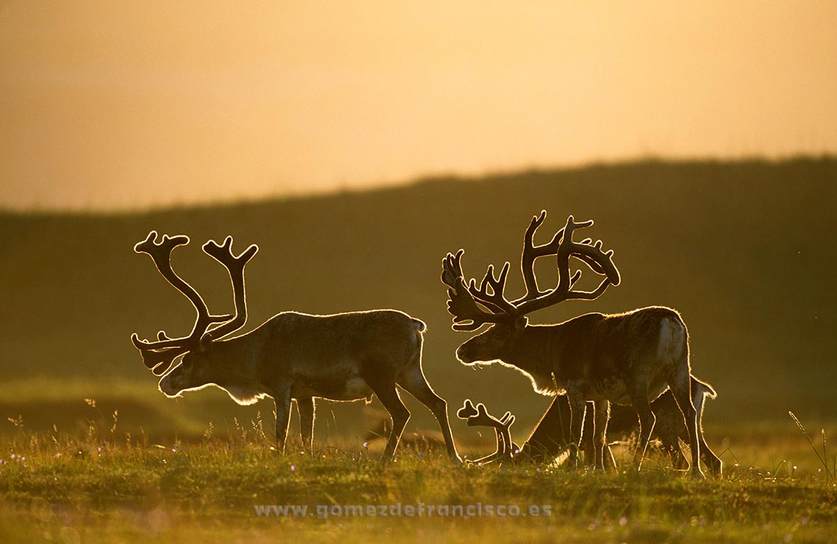 Renos (Rangifer tarandus). Noruega - En la tierra - J L Gómez de Francisco. Fotografía de fauna - Phtography of wild animals