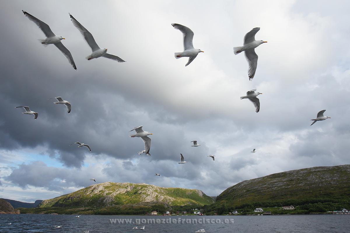 Gaviotas argénteas (Larus argentatus). Noruega - En el cielo - J L Gómez de Francisco. Fotografía de animales en el aire - Photograhy of animals in the air