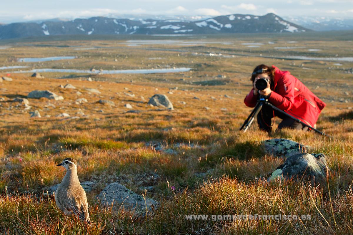 Fotografiando chorlito carambolo (Eudromias morinellus). Noruega - Making of - J L Gómez de Francisco. Fotografía de making of - Making of