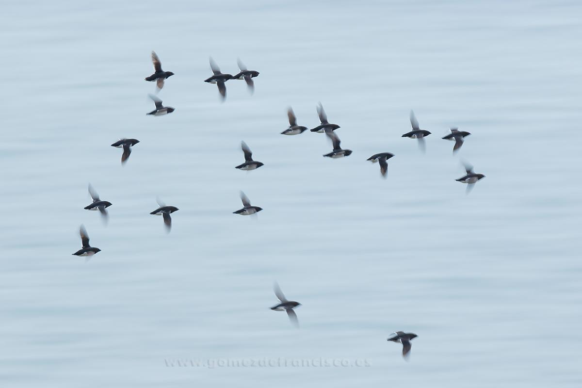 Mérgulos marinos (Alle alle). Svalbard - En el cielo - J L Gómez de Francisco. Fotografía de animales en el aire - Photograhy of animals in the air
