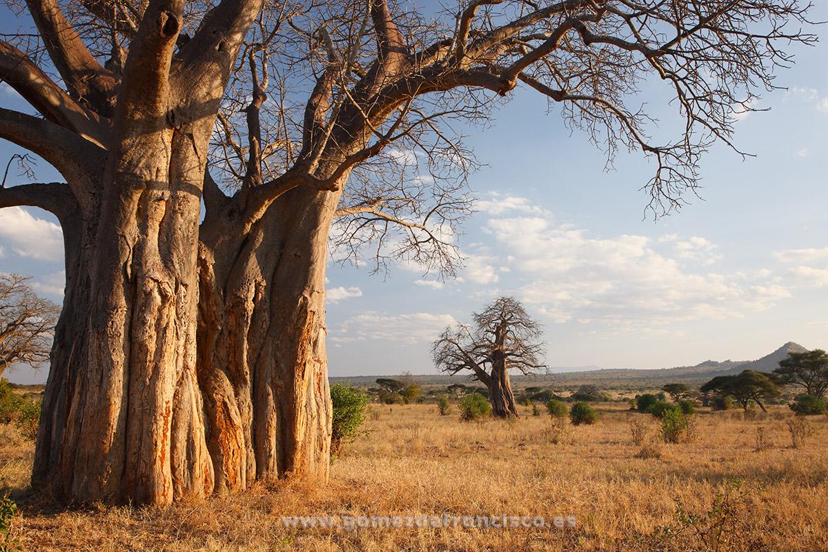 Baobabs. Parque Nacional de Tarangire, Tanzania - Baobabs, Tarangire National Park, Tanzania - J L Gómez de Francisco. Landscape photographs of Africa