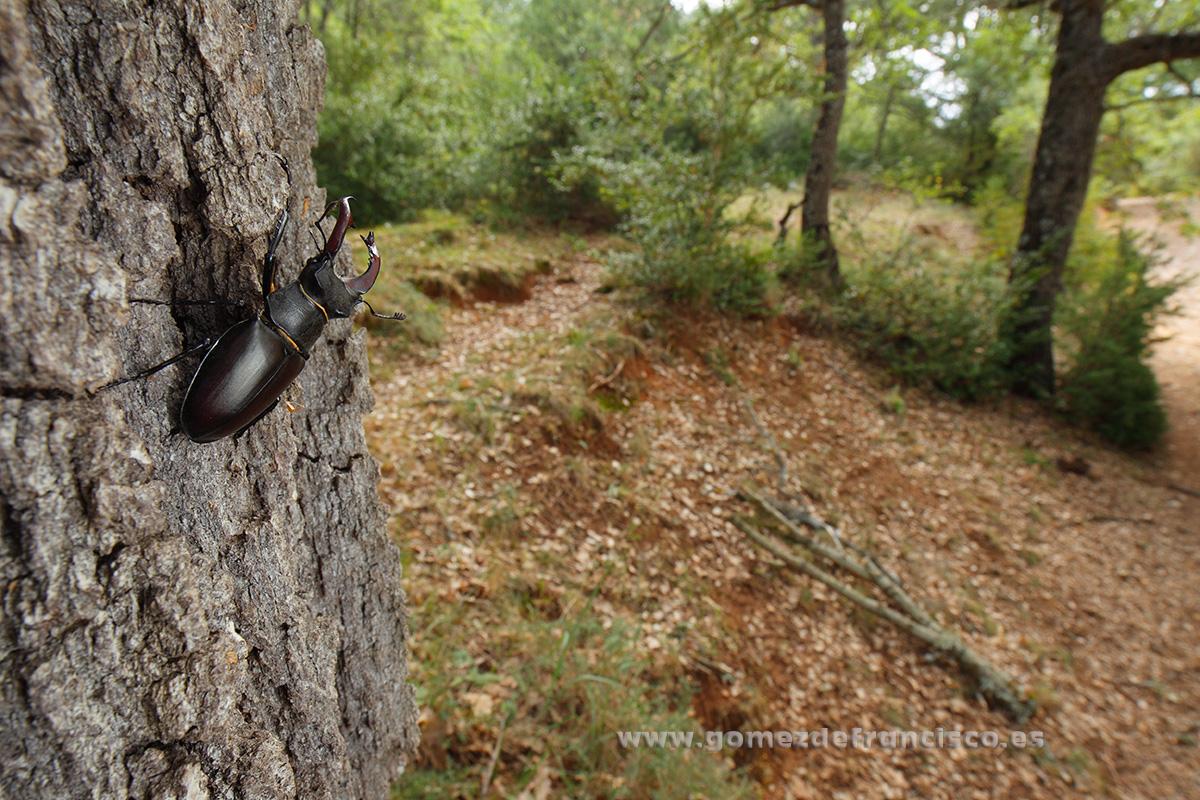 Ciervo volante (Lucanus cervus), macho. La Rioja - Mundos pequeños - J L Gómez de Francisco. Fotografía macro de la naturaleza - Macro Photography in the wild