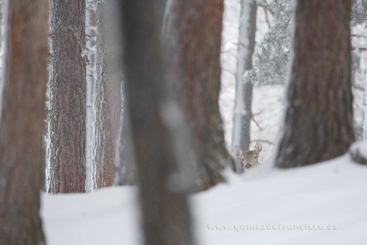 Ciervo común (Cervus elaphus), hembra - En blanco y frío - J L Gómez de Francisco. Fotografía de animales en la nieve - Photograhy of animals in the snow