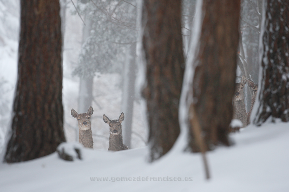 Ciervos comunes (Cervus elaphus), hembras - En blanco y frío - J L Gómez de Francisco. Fotografía de animales en la nieve - Photograhy of animals in the snow