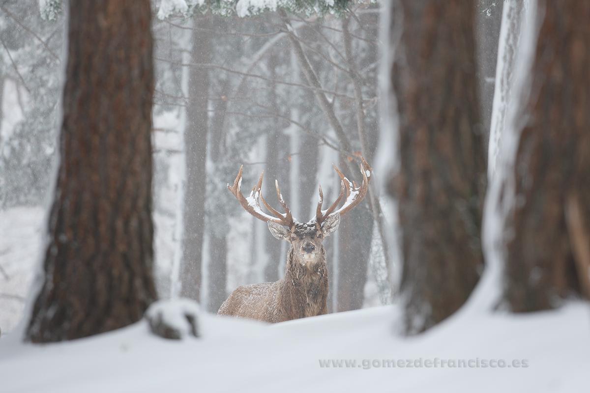 Ciervo común (Cervus elaphus), macho - En blanco y frío - J L Gómez de Francisco. Fotografía de animales en la nieve - Photograhy of animals in the snow