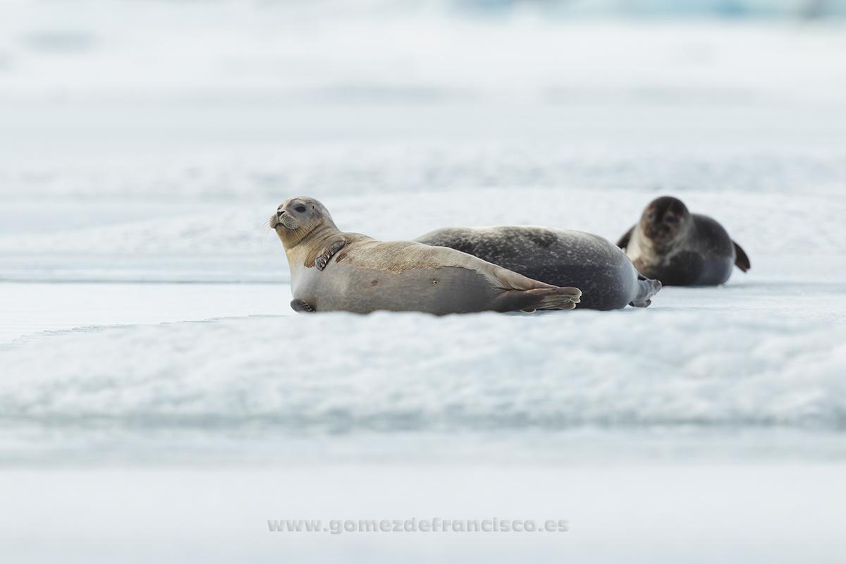 Foca común (Phoca vitulina). Islandia - En blanco y frío - J L Gómez de Francisco. Fotografía de animales en la nieve - Photograhy of animals in the snow