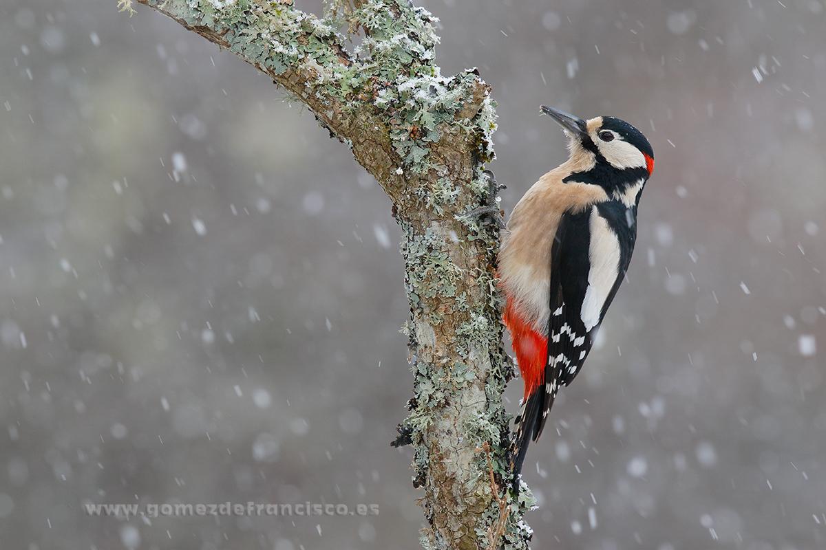 Pico picapinos (Dendrocopos major), macho. La Rioja - En blanco y frío - J L Gómez de Francisco. Fotografía de animales en la nieve - Photograhy of animals in the snow