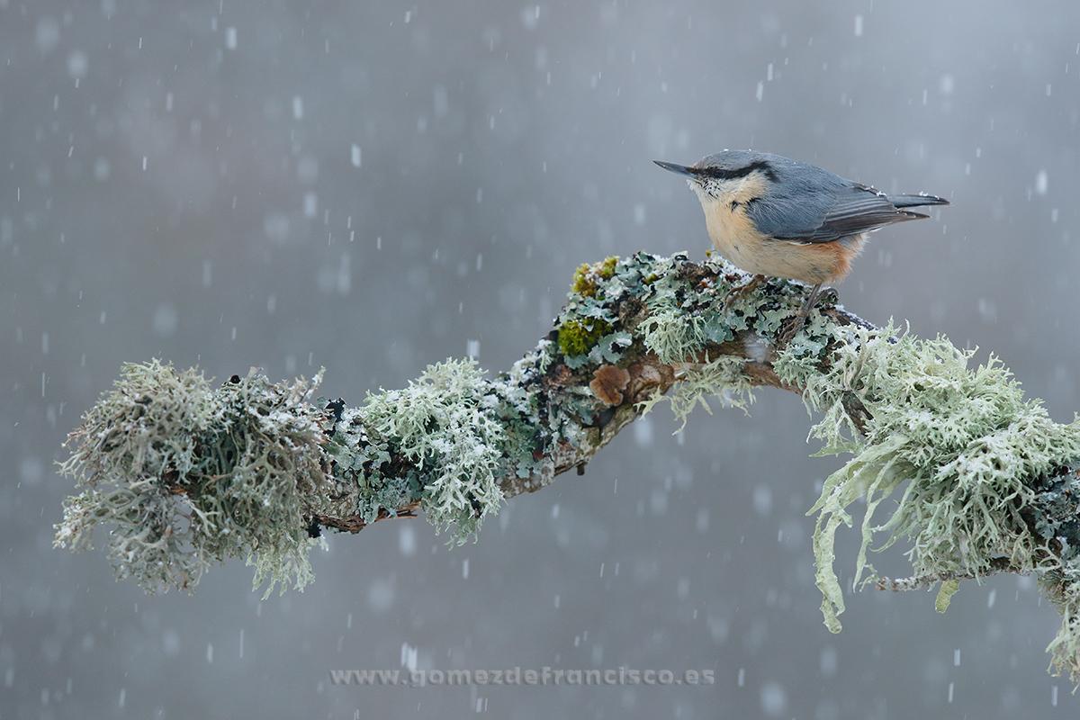 Trepador azul (Sitta europaea). La Rioja - En blanco y frío - J L Gómez de Francisco. Fotografía de animales en la nieve - Photograhy of animals in the snow
