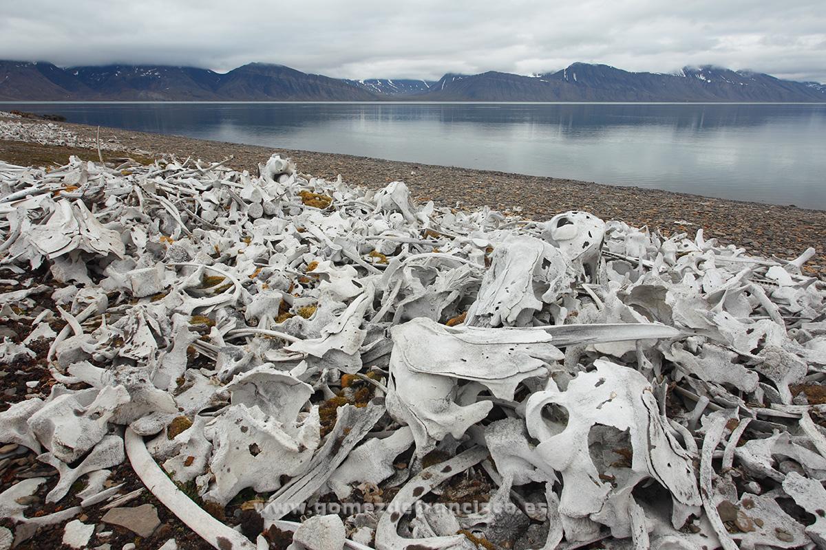 Huesos de beluga (Delphinapterus leucas), fiordo de Bellsund, Svalbard - Beluga bones (Delphinapterus leucas), Bellsund fjord, Svalbard - J L Gómez de Francisco. Landscape photographs of Svalbard