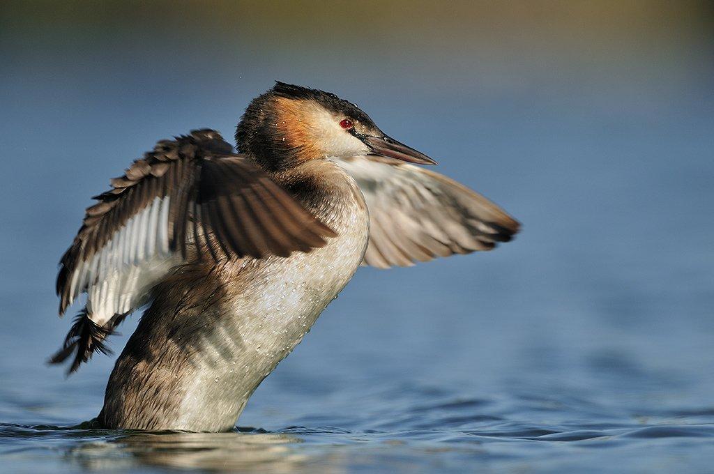 Podicipediformes - Juanma Hernández · Fotografía de Naturaleza · Galería de Aves · Podicipedidae