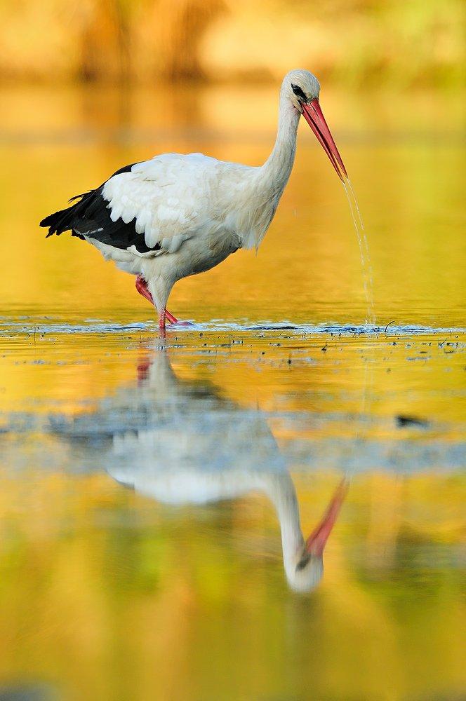 Ciconiiformes - Juanma Hernández · Fotografía de Naturaleza · Galería de Aves · Ciconiiformes