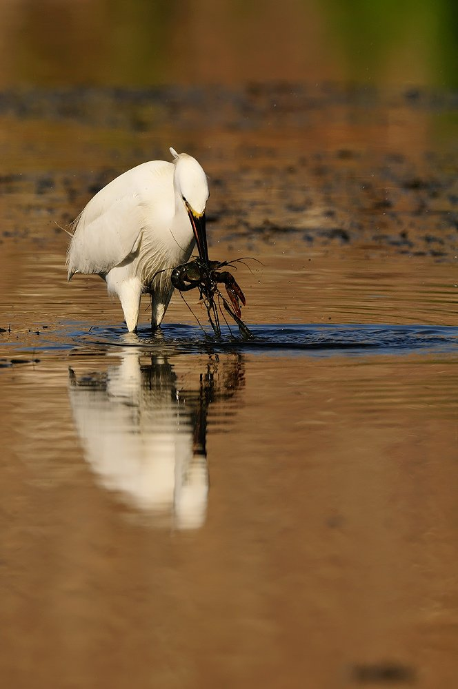 Pelecaniformes - Juanma Hernández · Fotografía de Naturaleza · Galería de Aves · Pelecaniformes