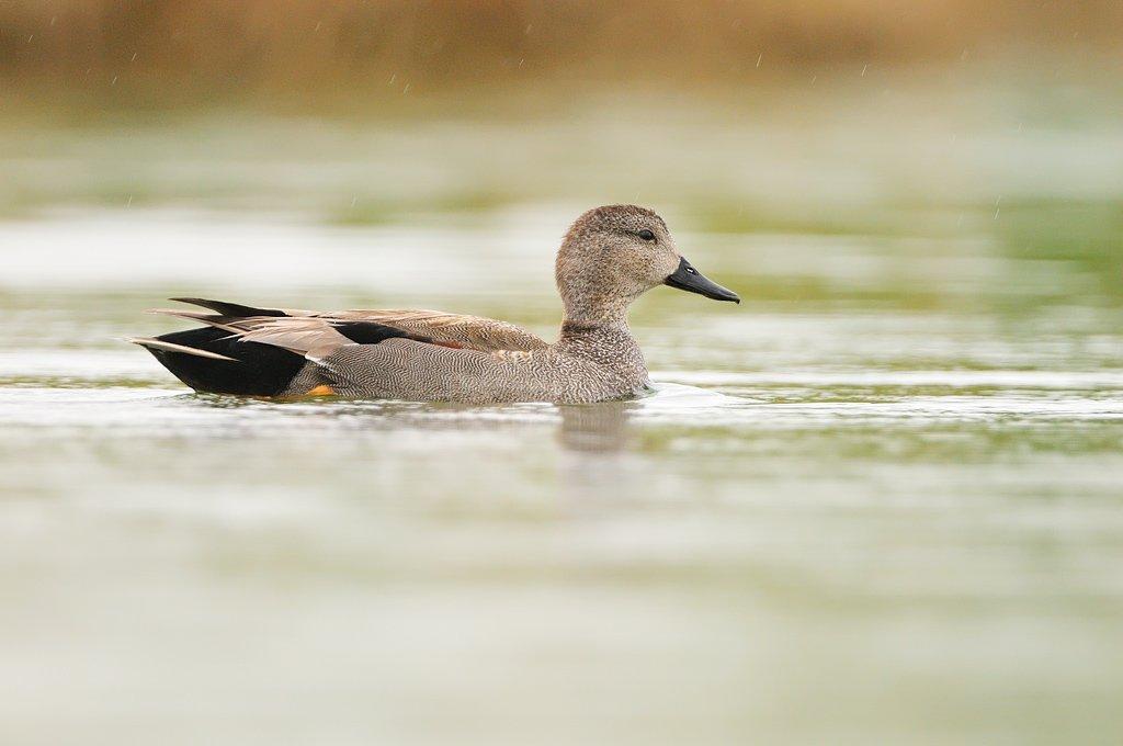 Anseriformes - Juanma Hernández · Fotografía de Naturaleza · Galería de Aves · Anseriformes