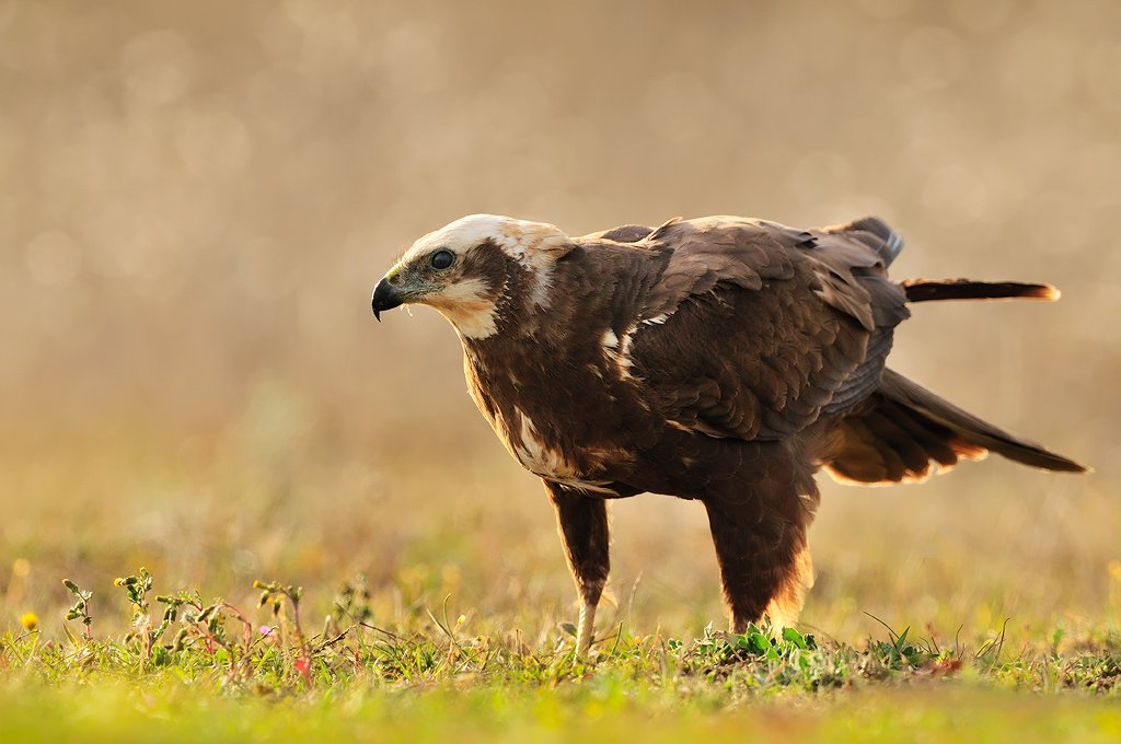 Falconiformes - Juanma Hernández · Fotografía de Naturaleza · Galería de Aves · Falconiformes