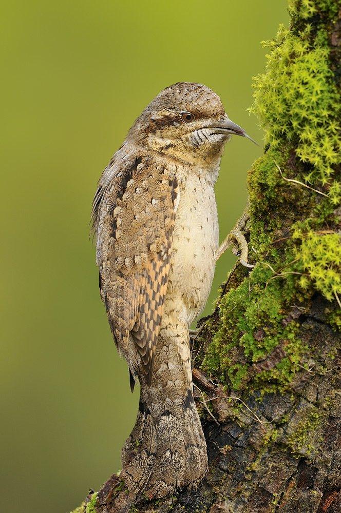 Piciformes - Juanma Hernández · Fotografía de Naturaleza · Galería de Aves · Piciformes
