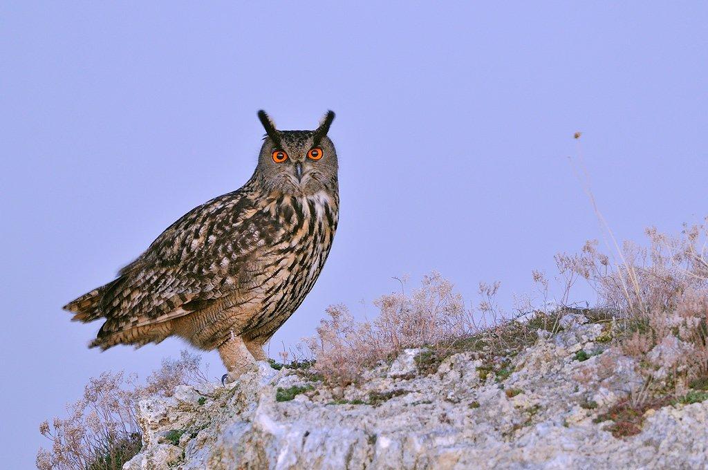 Strigiformes - Juanma Hernández · Fotografía de Naturaleza · Galería de Aves · Strigiformes