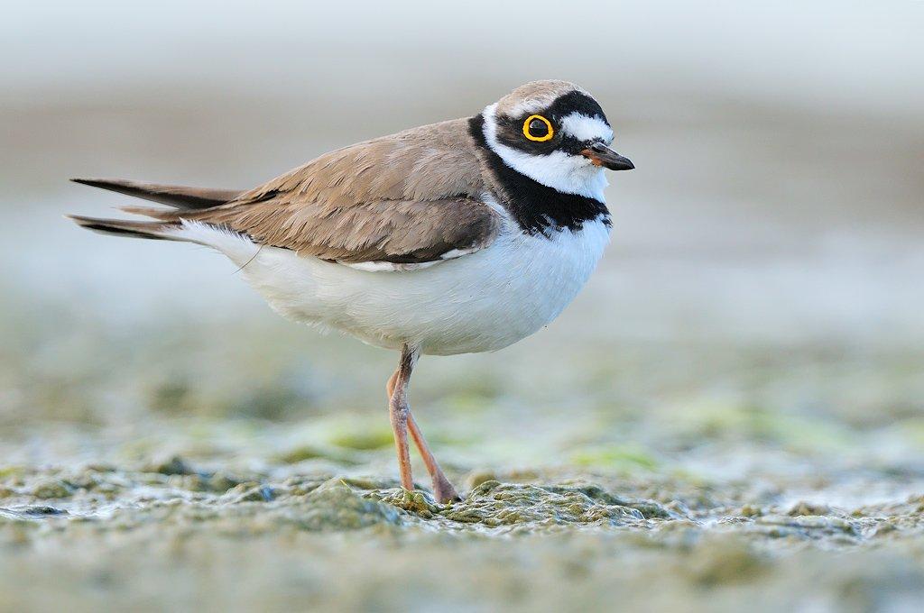 Charadriiformes - Juanma Hernández · Fotografía de Naturaleza · Galería de Aves · Charadriiformes