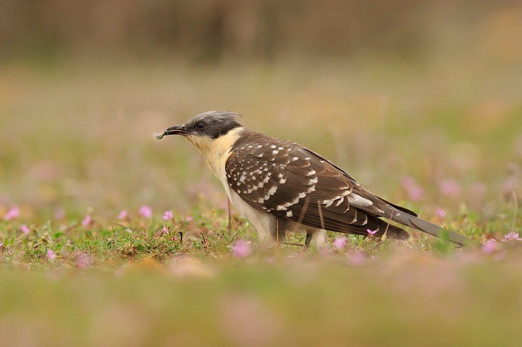 Cuculiformes - Juanma Hernández · Fotografía de Naturaleza · Galería de Aves · Cuculiformes
