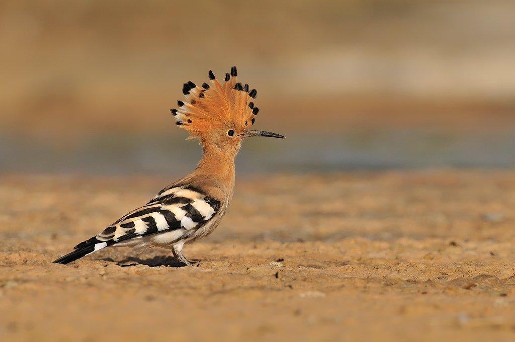Coraciiformes - Juanma Hernández · Fotografía de Naturaleza · Galería de Aves · Coraciiformes