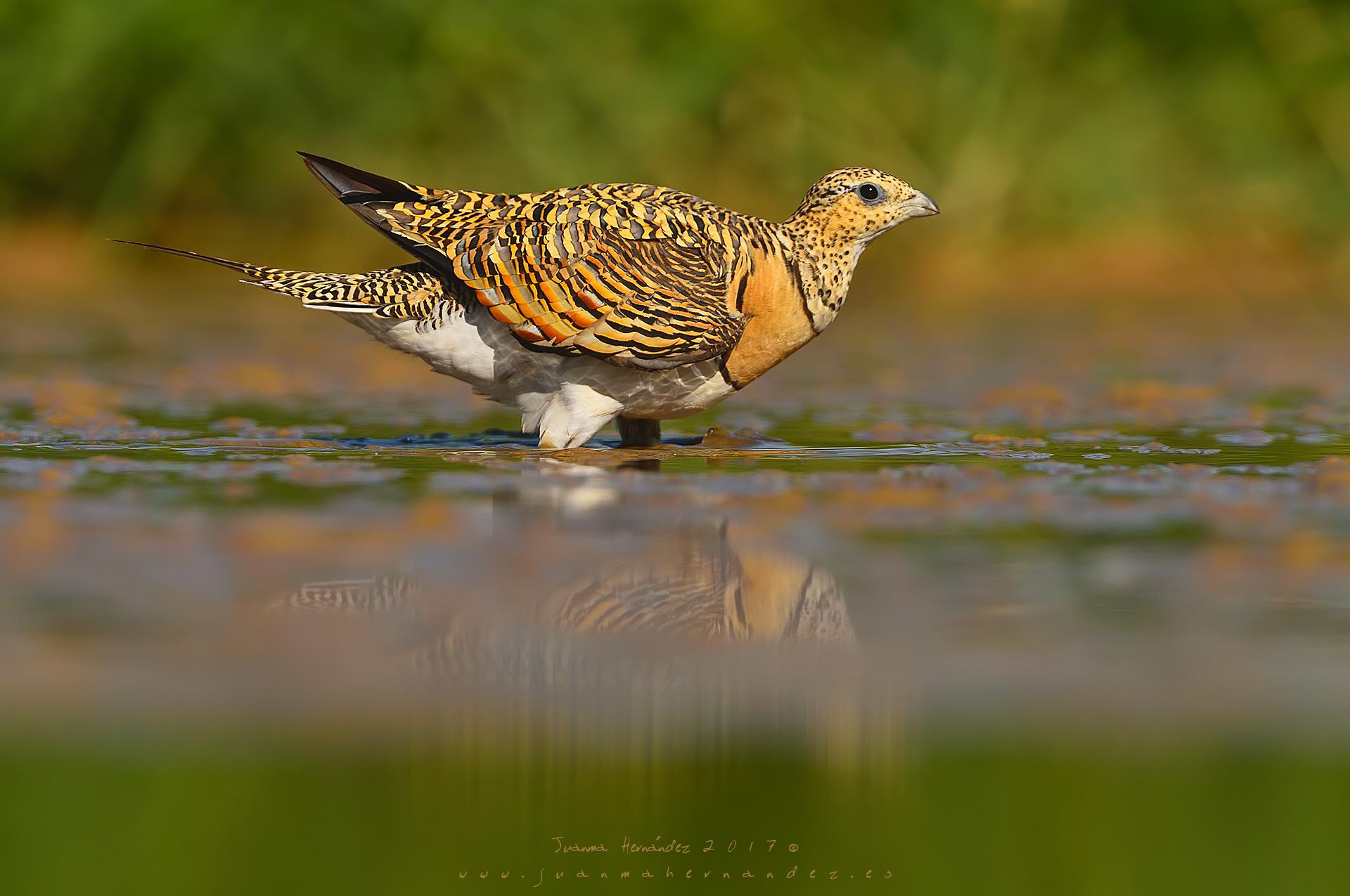 Pterocliformes - Juanma Hernández, Fotografía de Naturaleza