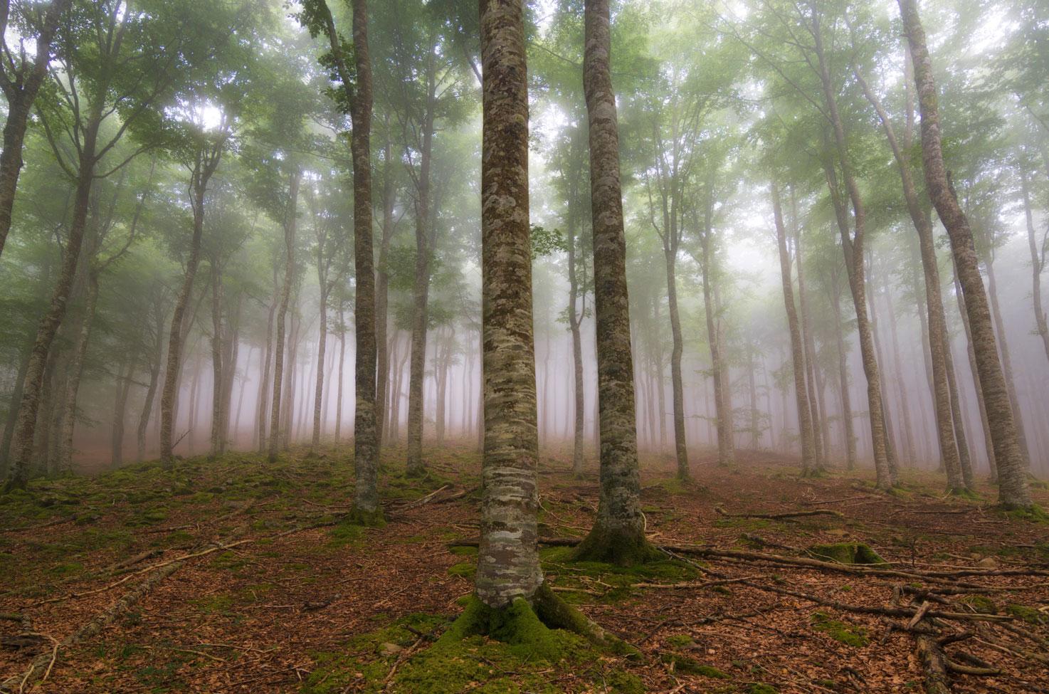 Hayedo, Aralar, Navarra. - Archivo - Iñaki Larrea, Fotografía de naturaleza y montaña