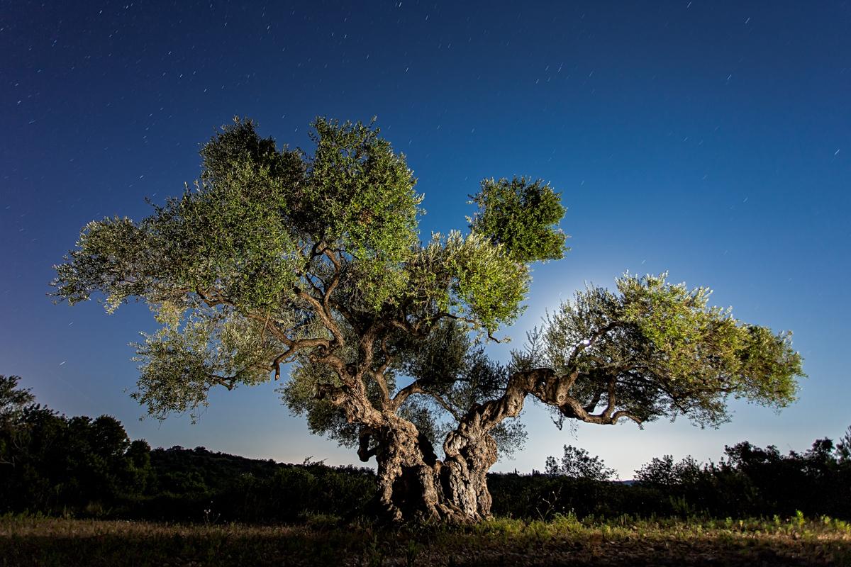 L'olivera de la Solana - Quan dormen els Arbres - LLUIS IBAÑEZ MELIA, Geografies als Ports Maestrat