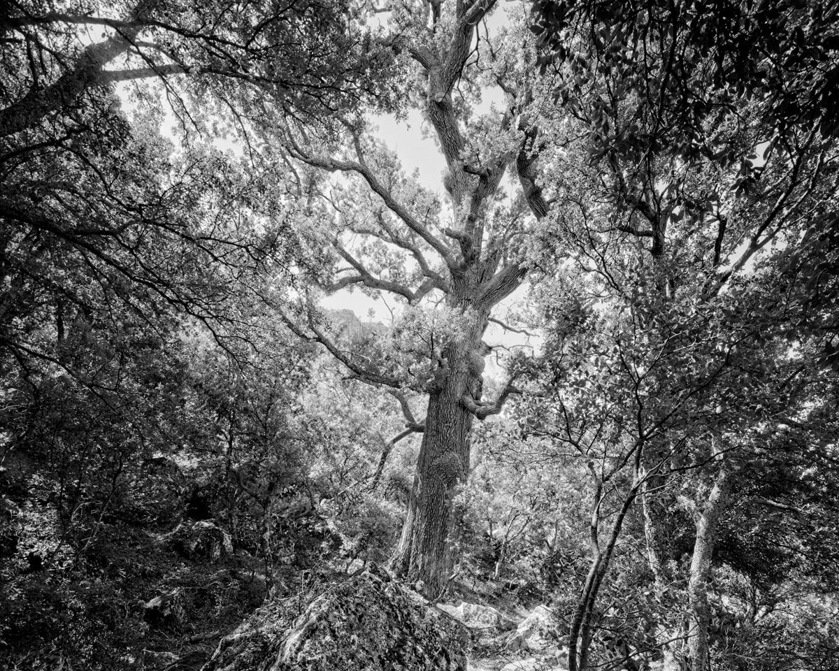 El Roure del Mas del Racó. Forcall - Arbres