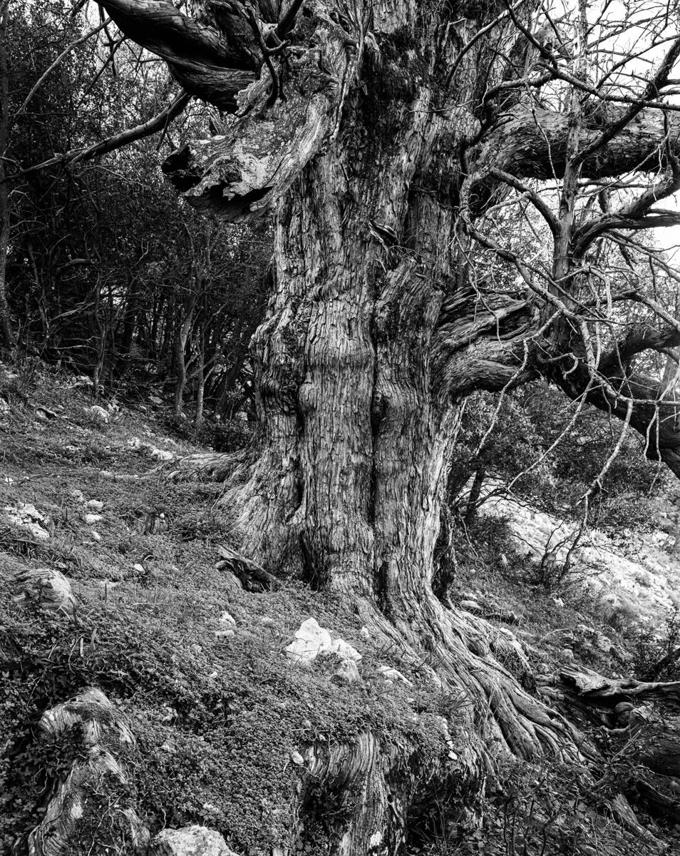 Els Teixos de Fonollosa. Vallibona - Arbres