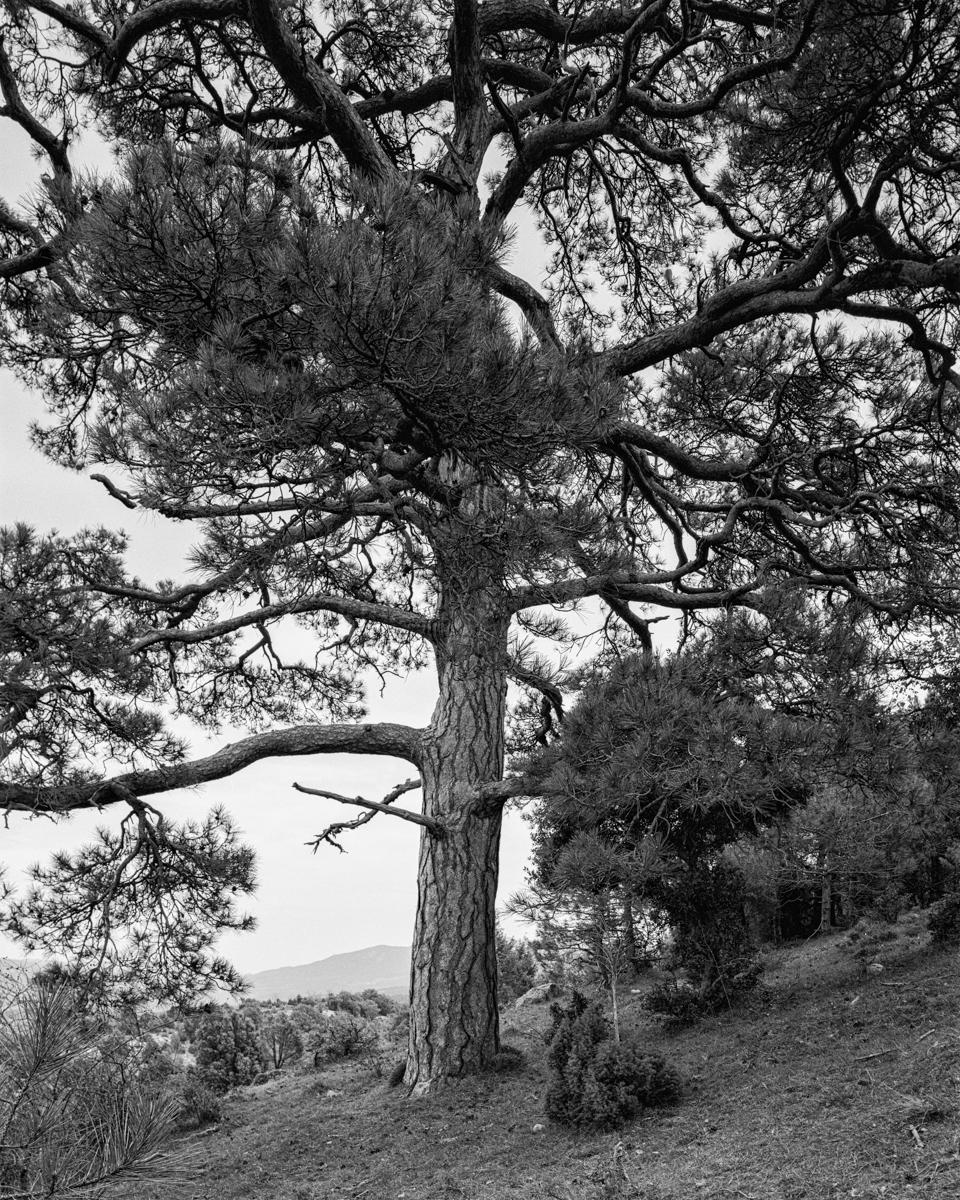 El Pi de Cameta. Morella - Arbres