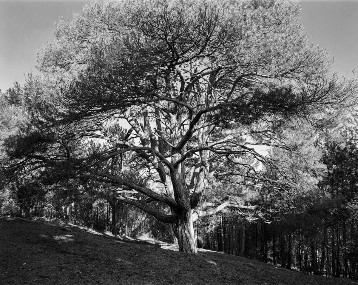 El Pi de les dotze branques. Coratxà - Arbres