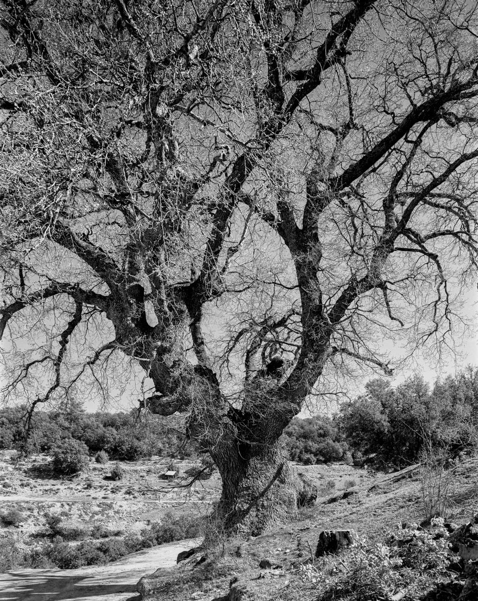 El Roure de la Roca. Morella - Arbres