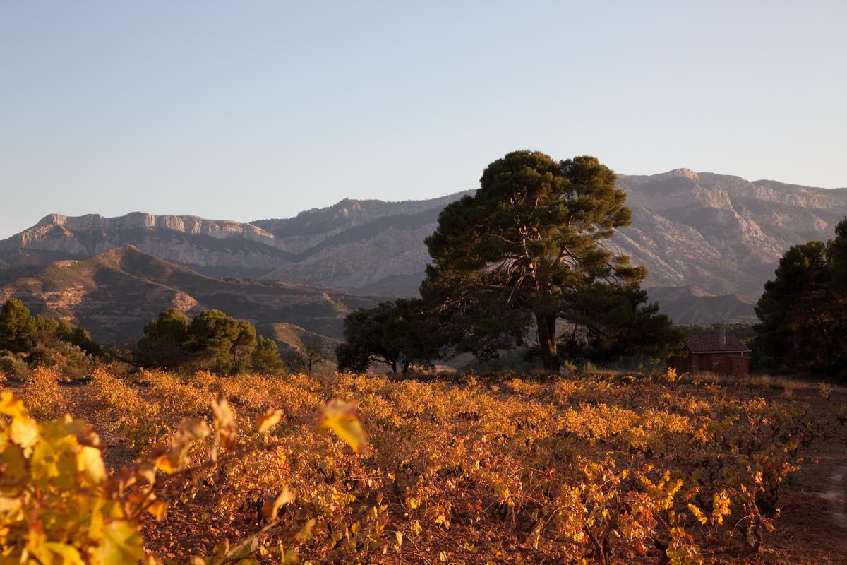 El Pi de Mauri - Arbres de les nostres terres - LLUIS IBAÑEZ MELIA, Geografies als Ports Maestrat