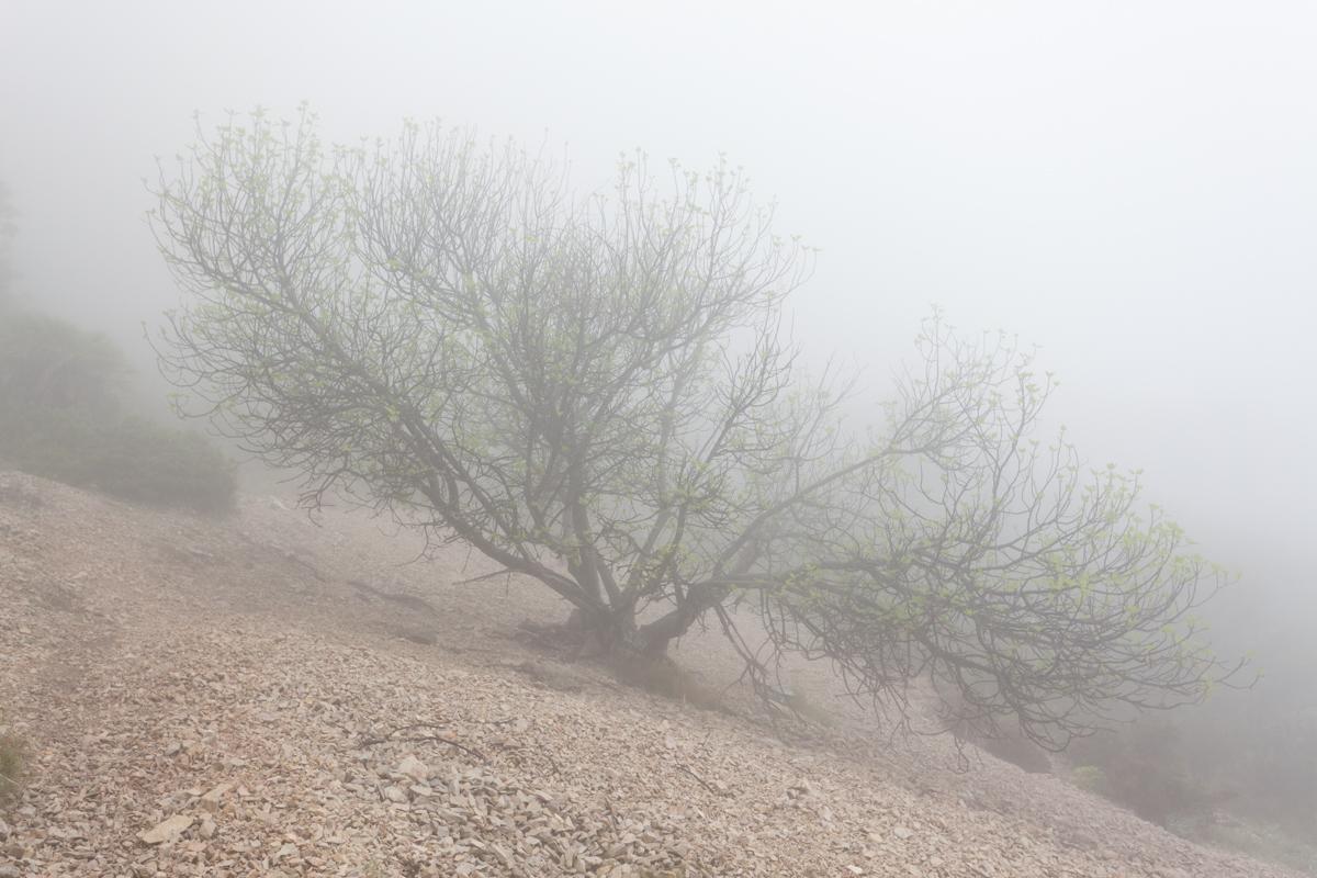 La Figuera del Pegunter - Arbres de les nostres terres - LLUIS IBAÑEZ MELIA, Geografies als Ports Maestrat