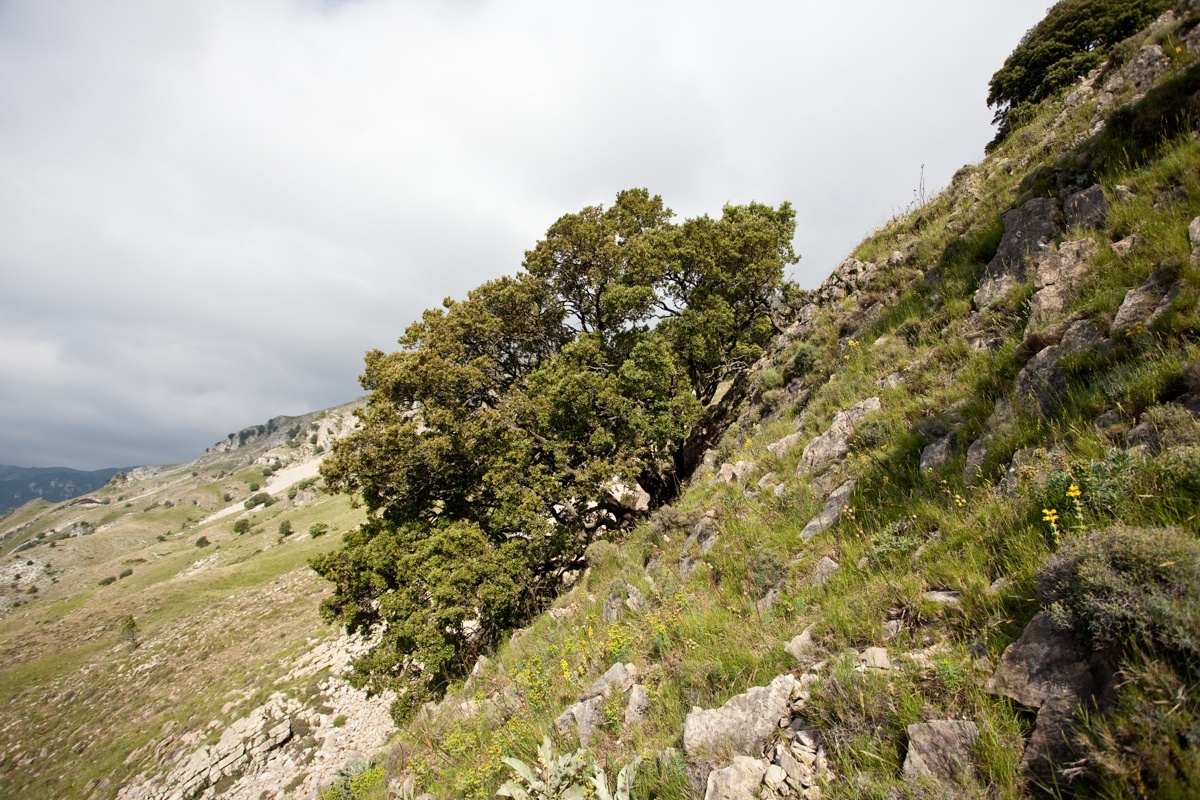 La Carrasca de la Solana les Rases - Arbres de les nostres terres - LLUIS IBAÑEZ MELIA, Geografies als Ports Maestrat