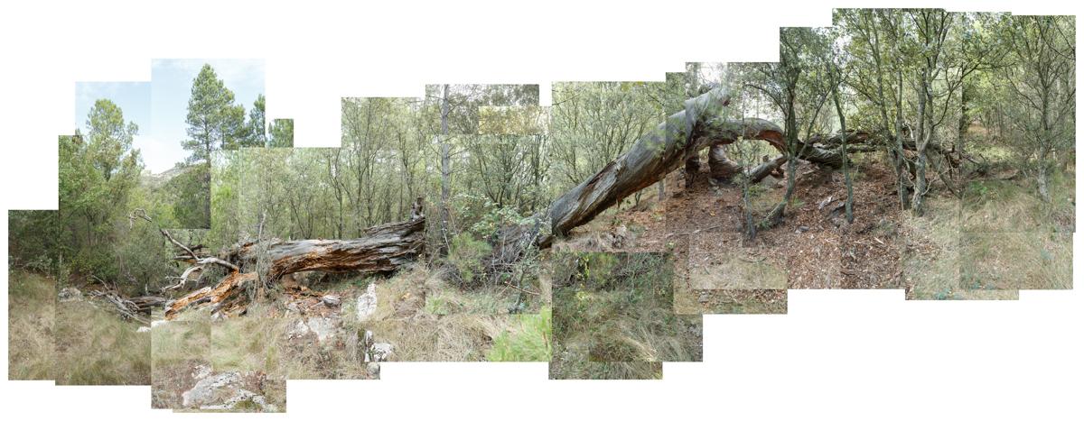 El Pi de les Rodanxes - Arbres de les nostres terres - LLUIS IBAÑEZ MELIA, Geografies als Ports Maestrat