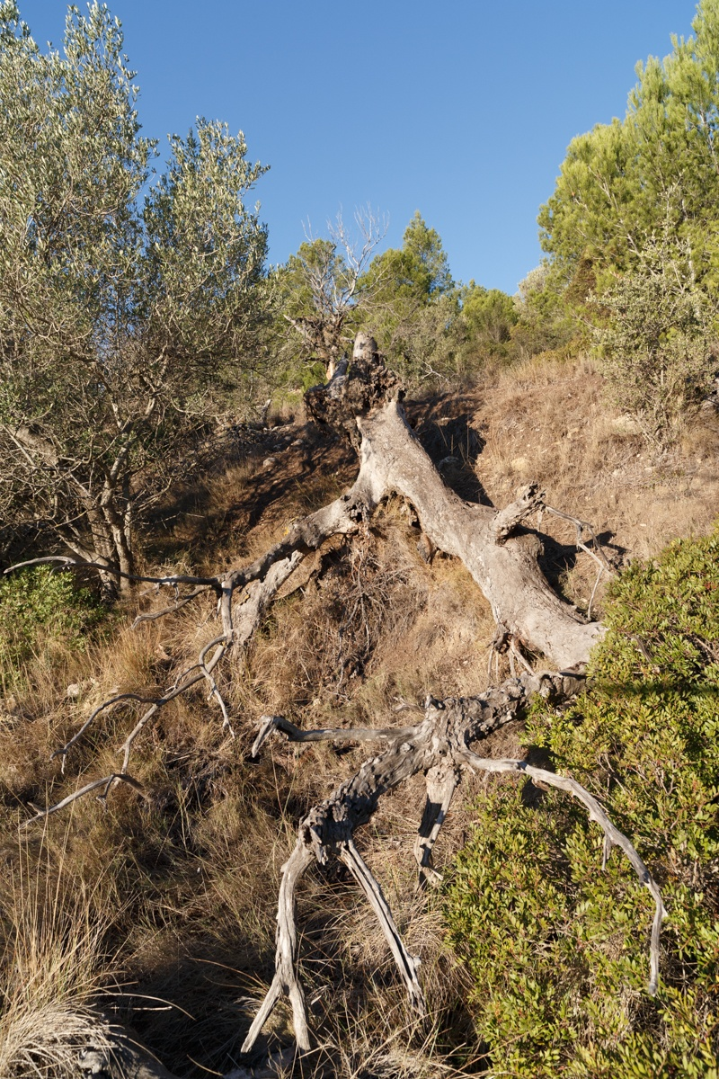 L'Àlber de Font Domingo - Arbres de les nostres terres - LLUIS IBAÑEZ MELIA, Geografies als Ports Maestrat