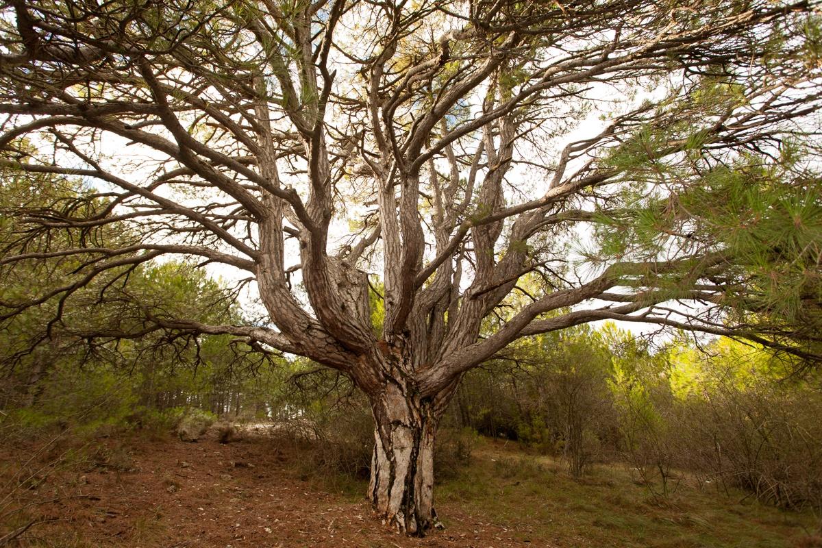 El Pi de les dotze branques - Arbres de les nostres terres - LLUIS IBAÑEZ MELIA, Geografies als Ports Maestrat
