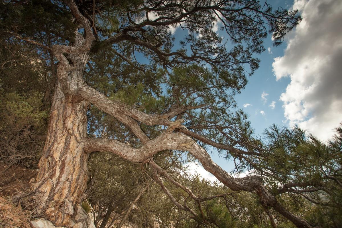El Pi de Ferri - Arbres de les nostres terres - LLUIS IBAÑEZ MELIA, Geografies als Ports Maestrat