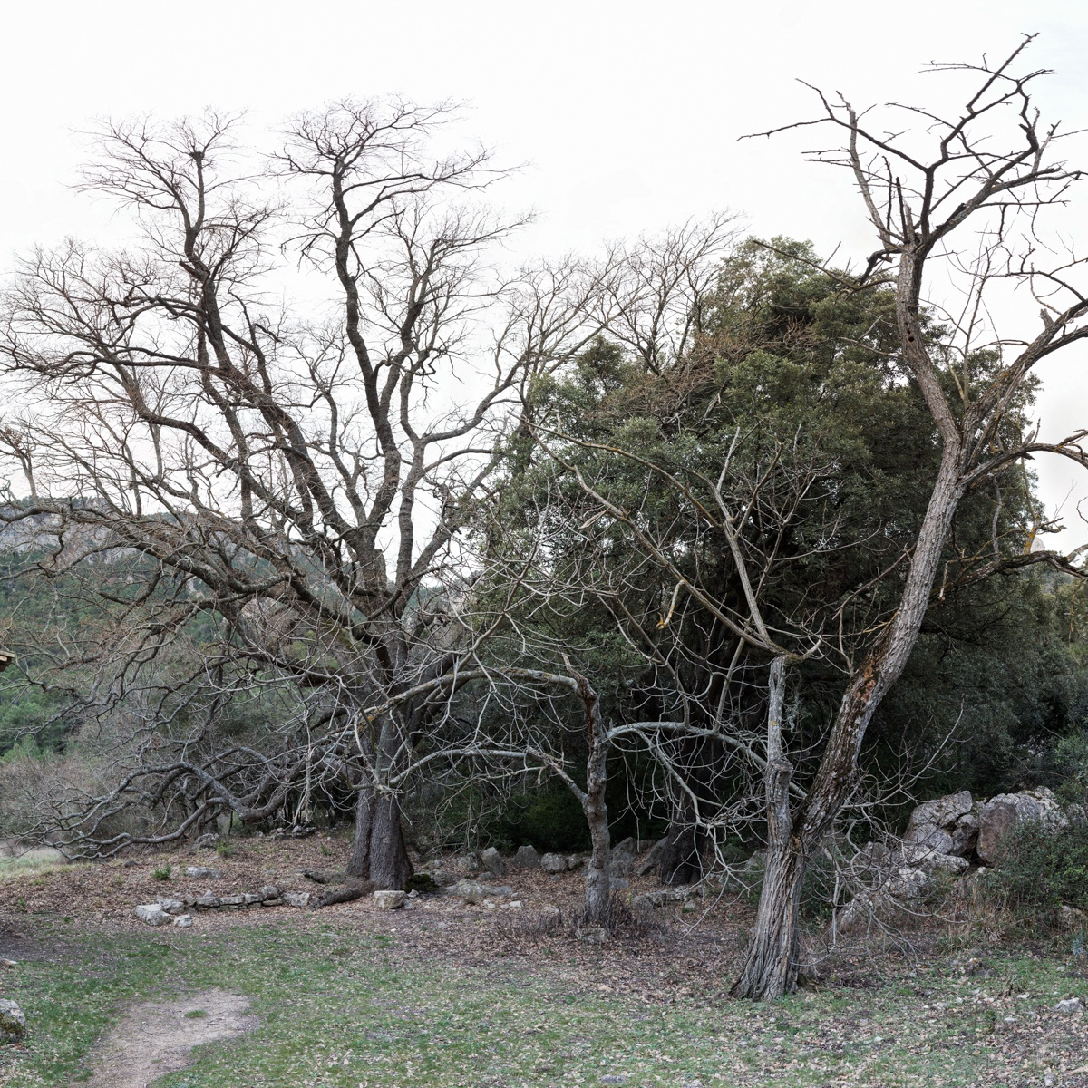 El Roure i La Carrasca del Mas de Pau - Arbres de les nostres terres - LLUIS IBAÑEZ MELIA, Geografies als Ports Maestrat
