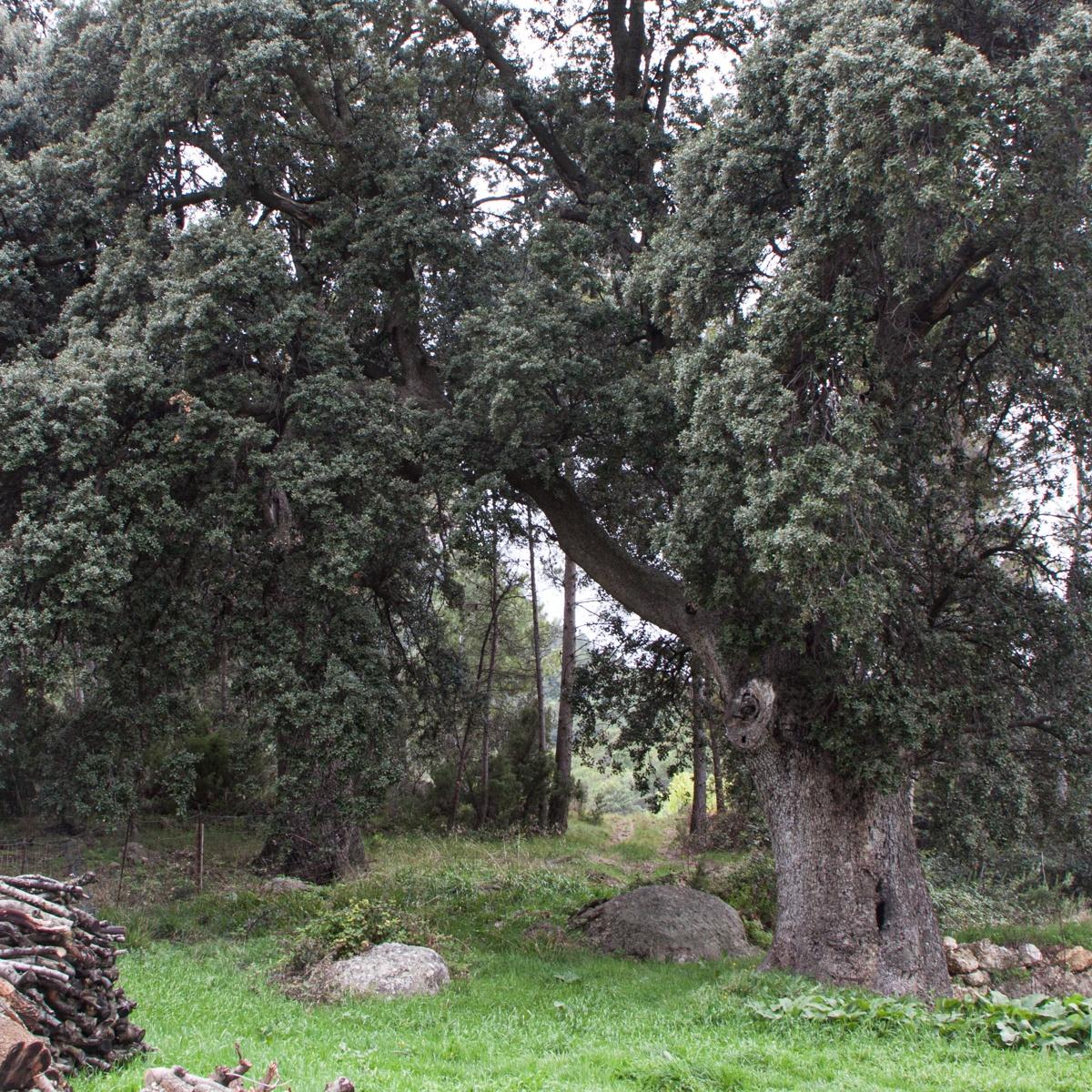 Les Carrasques de Micolau - Arbres de les nostres terres - LLUIS IBAÑEZ MELIA, Geografies als Ports Maestrat