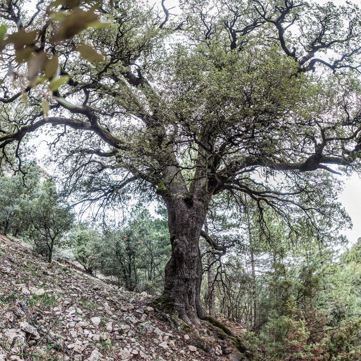 La Carrasca grossa de l'Escaleta (I) - Arbres de les nostres terres - LLUIS IBAÑEZ MELIA, Geografies als Ports Maestrat