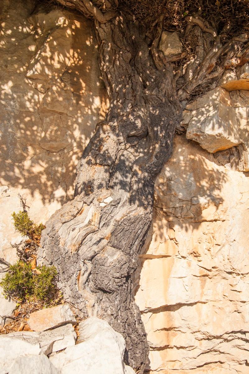 L'Heura del Pany de l'Hedrera - Arbres de les nostres terres - LLUIS IBAÑEZ MELIA, Geografies als Ports Maestrat