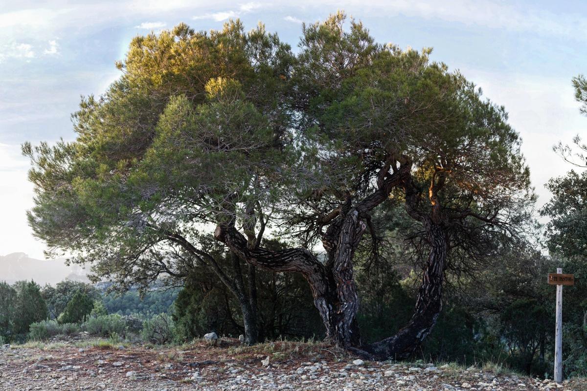 El Pi Pastor - Arbres de les nostres terres - LLUIS IBAÑEZ MELIA, Geografies als Ports Maestrat