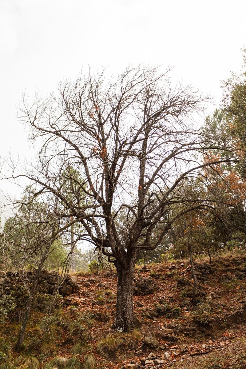 La Servera de Franxo - Arbres de les nostres terres - LLUIS IBAÑEZ MELIA, Geografies als Ports Maestrat
