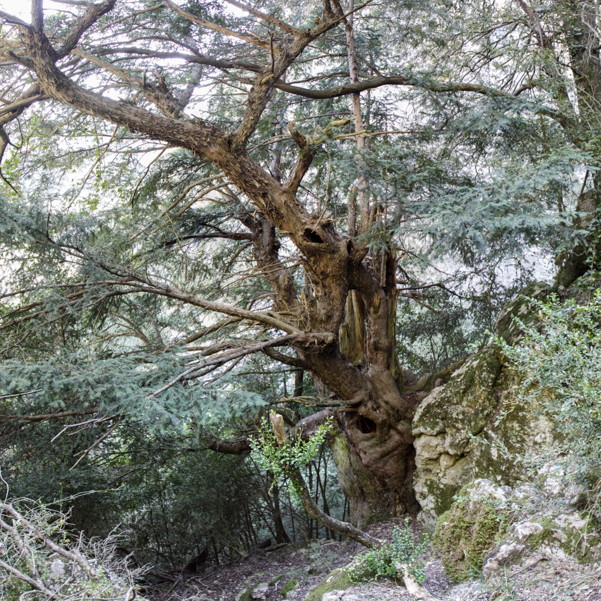 El Teix del Barranc del Corb - Arbres de les nostres terres - LLUIS IBAÑEZ MELIA, Geografies als Ports Maestrat