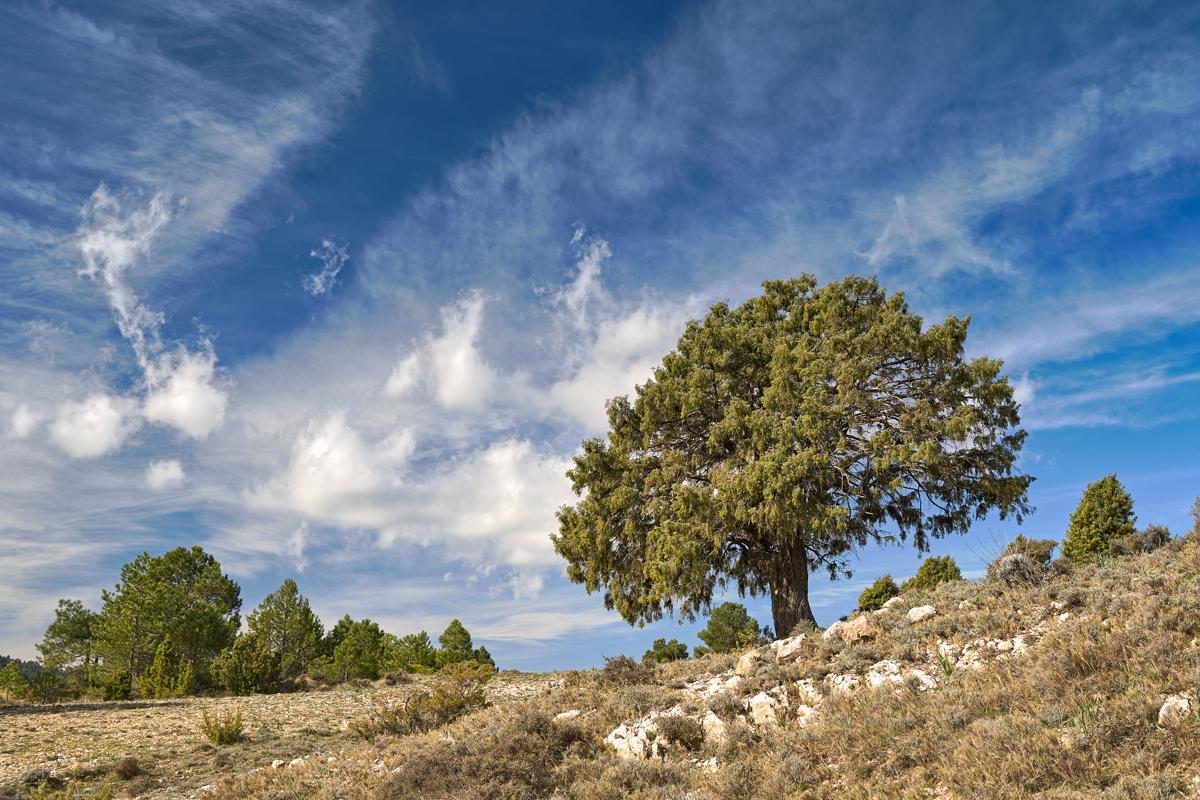 Lo Càdec - Arbres de les nostres terres - LLUIS IBAÑEZ MELIA, Geografies als Ports Maestrat