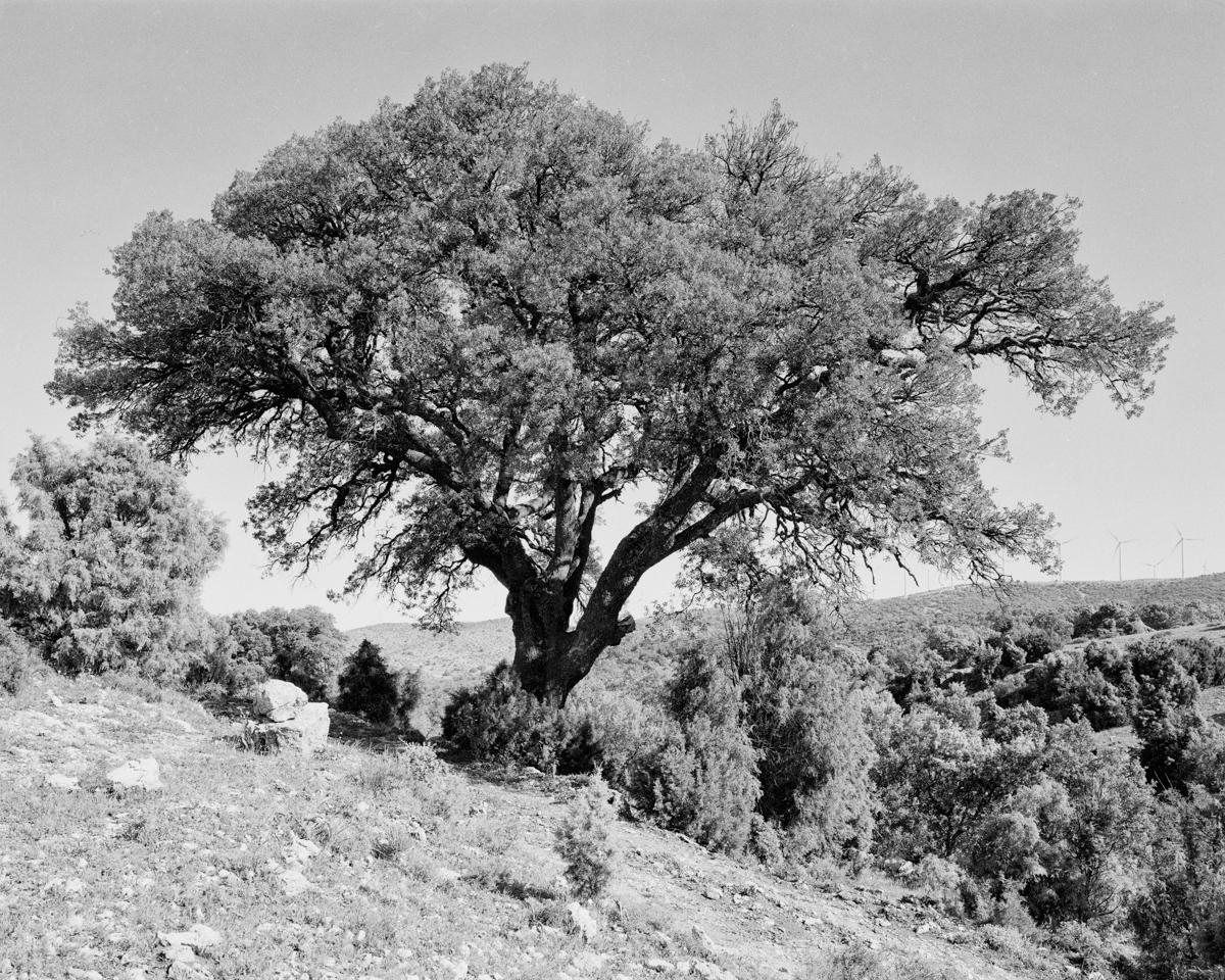La Carrasca de Carceller II. Morella - Arbres