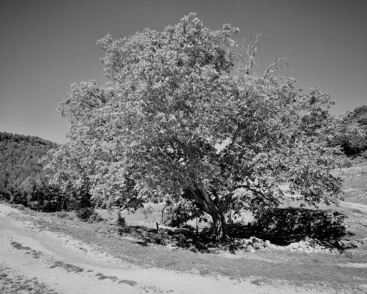 L'Anoer del Carrascal. Morella - Arbres