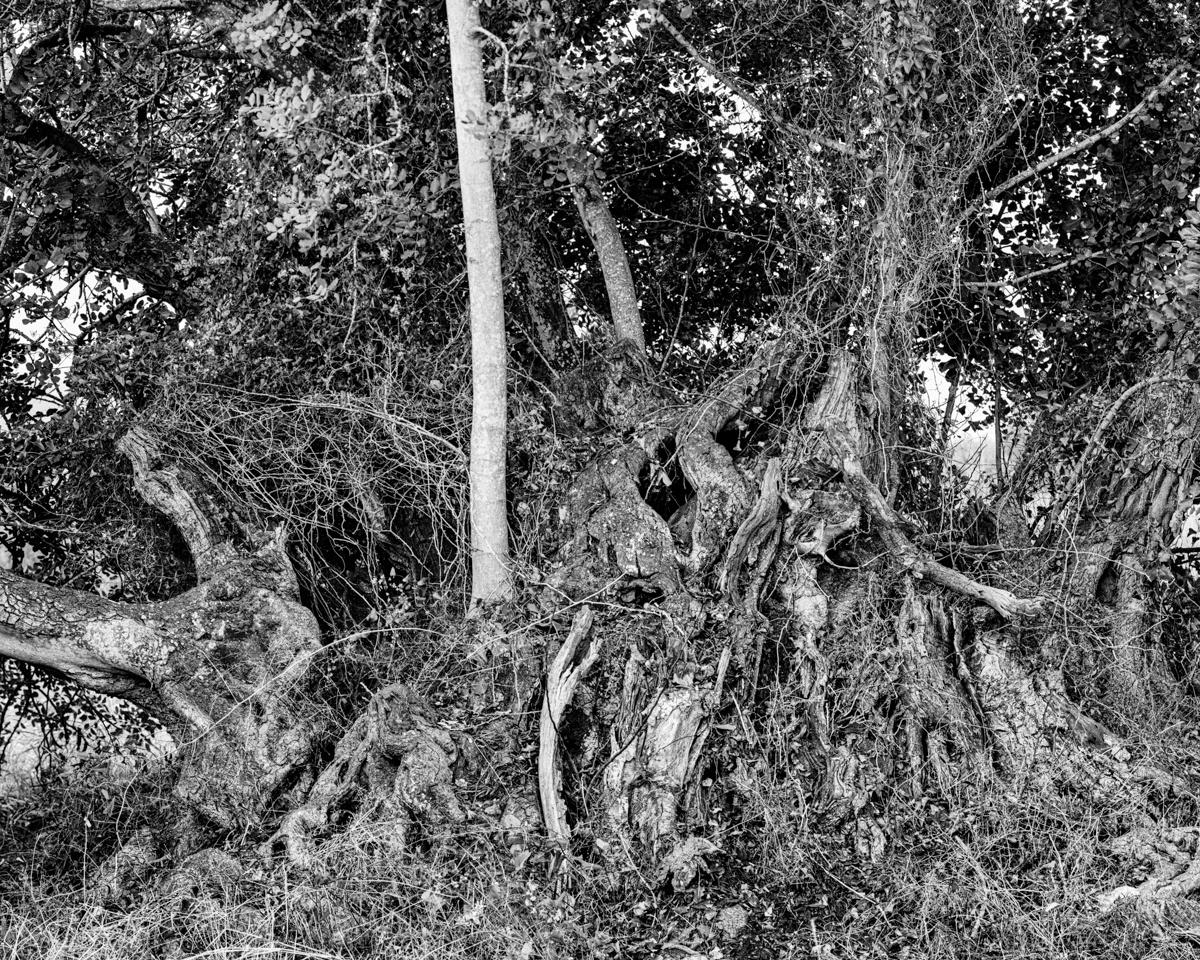 El Garrofer del Mas de Conill. Peníscola - Arbres