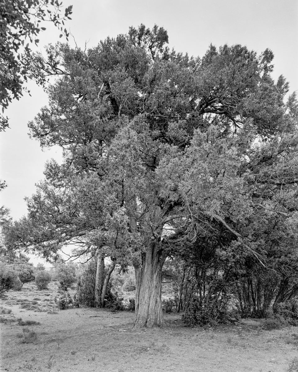 La Travina del Mas de Colau. Vilafranca. - Arbres